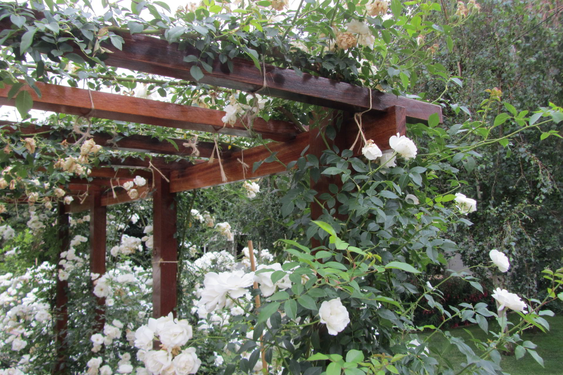 Iceberg rose climber over pergola
