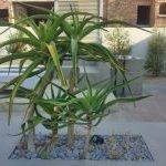 Focal Architectural Aloe Tree in contemporary garden