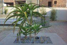 Focal Architectural Aloe Tree in contemporary garden